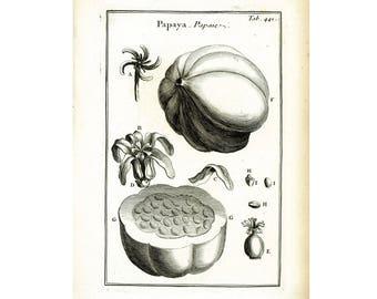 1797 Antique Green Papaya Print Tropical Fruit Botanical Natural History Wall Home Decor