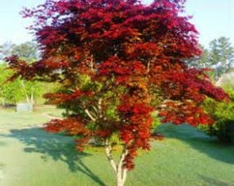 Red upright Bloodgood Grafted Japanese Maple