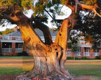 Pier Cedar Tree