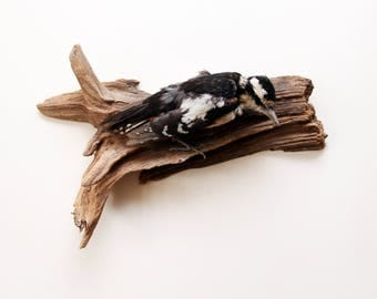 Beautifully Preserved Vintage Great Spotted Woodpecker Taxidermy Wall Mount