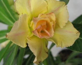 Adenium obesum,stunning succulent blooms rare double flowers that bloom yellow flowers , bonsai, desert rose plant