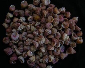Astralium Provisorium Tiny Seashells  (5 Shells)