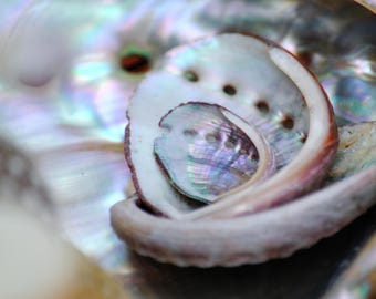 Abalone Shells - Stock Photography, Digital Download, Photograph, Nature