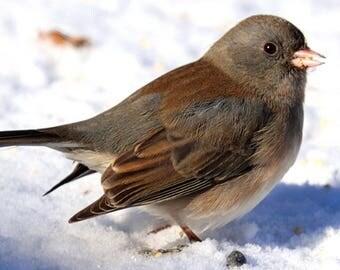 Dark-Eyed Junco Eating Seeds In The Snow By Scott D Van Osdol Wildlife Photography Fine Art Print Wild Bird Nature Feeding Indiana Cold