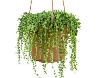 "String of Pearls aka Senecio Rowleyanus Live Plant Fit 6"" Pot Hanging Succulents Succulent Terrarium Plants Exotic Succulent Basket"