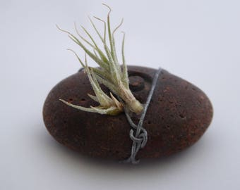 Tiny airplant on pebble