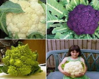 Cauliflower (4 variety)