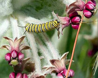 California Milkweed Seeds/Asclepias californica seeds / Butterfly Host Plant