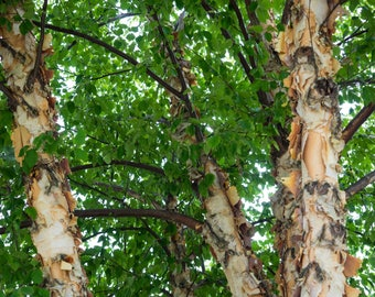 LIVE Potted River Birch Tree Seedling 36-48+ Inches Betula nigra