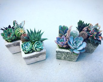 Succulent Arrangement in Double Concrete Planter