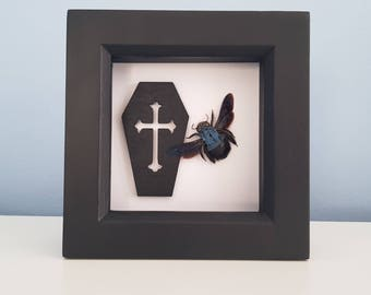 Real Taxidermy - Blue Carpenter Bee - gothic