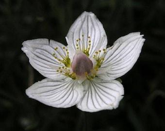 50 Parnassia palustris Seeds, Marsh Grass of Parnassus, Bog Star Seeds ,