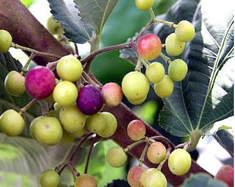 Sherbet Berry Grewia asiatica Live Fruit Plant Phalsa Falsa