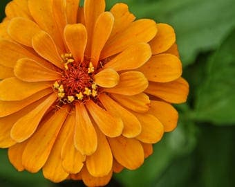 Orange Zinnia (digital download)
