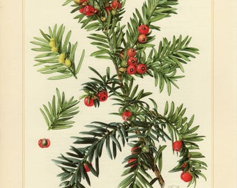 Vintage lithograph of English yew or European yew from 1958