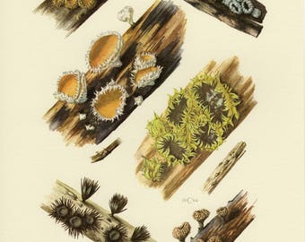 Vintage lithograph of cup fungi, dasyscyphella, hyaloscyphaceae from 1964