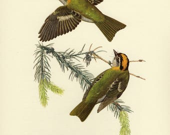 Vintage lithograph of the firecrest or common firecrest from 1953