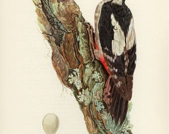 Vintage lithograph of the great spotted woodpecker from 1953