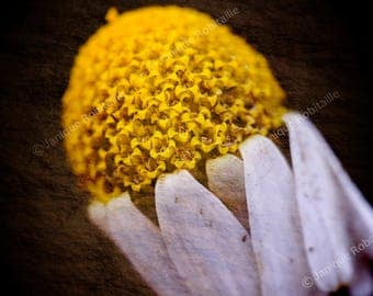 Flower fine art photography artistic photograph daisy close-up photo home decor wall art yellow brown macrophotography poster