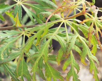 Japanese Maple SPRING DELIGHT 1-yr Graft