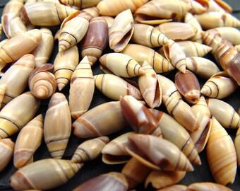 Turbine SEA SHELL LOT Small Beautiful Sea Shells Sailor's Valentine Shell Crafts