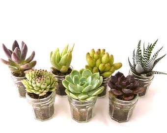 The small jam jar: gift to the nature guests, wedding, baptism, birthday gifts, table decoration, mini succulent plant