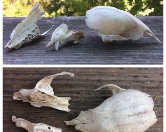 Real Raccoon Skull (Partial/Craft Grade/Damaged)