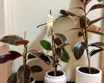 Potted Variegated Ficus' (Rubber Plant)