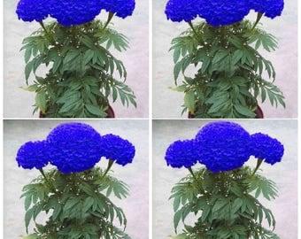 200Pcs Blue Marigold Maidenhair Seeds Home Garden Edible Flower Plant Seed