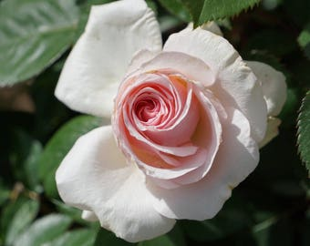 Beautiful light pink rose