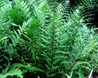 Red-Stemmed Lady Fern  Athyrium filix-femina 'Lady in Red'
