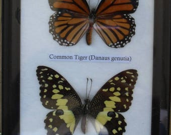 Real 2 Beautilul Butterfly Collection  In Frame /BO20