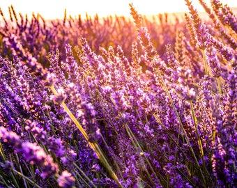 Lavender Herb Seeds ( l angustifolia ) 3,5 gr 100 Seeds, Guaranteed Growth, Greek Seeds, Garden Decoration