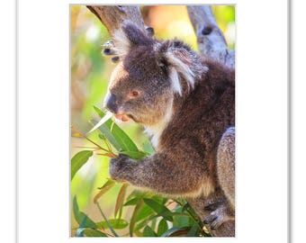Koala Feeding on Eucalyptus Leaves, Matted Photo Print (5x7 inches), Koala, Yanchep National Park, Western Australia