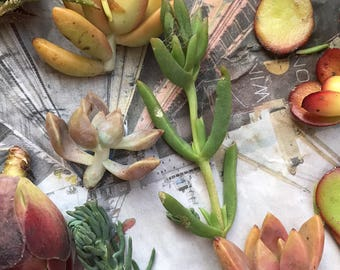 10 Succulent Cuttings