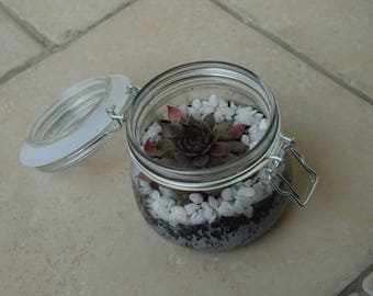 Sempervivum in Glass Storage Jar Planter/Terrarium - Mothers Day UK - Mothers Day Gift - New Mom - Gifts for Her - Gifts for Mum - Mum Gift