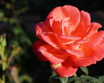 Pink Orange Rose Photo