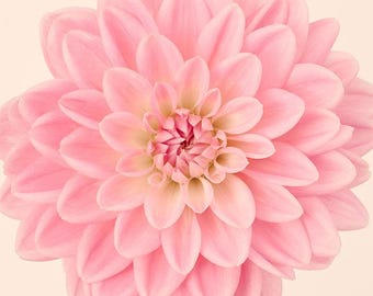Pink Flower Photography Print, Dahlia Flower Wall Art, Floral Wall Art, Large Art Print, Minimalist, Nature Photography