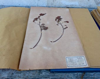 Antique-1887-1889-French-herbarium Erica vagance