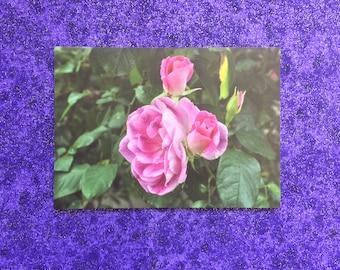 Pink Rose postcard print