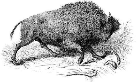 "buffalo bison illustration printable wall art png jpg clipart Digital stamp download image graphics animals nature 4.9 "" x 8.3"""