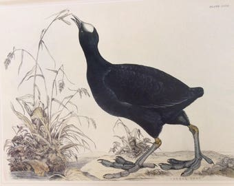 Common Coot by W.H. Lizars, 1990s Reproduction Colorplate, Book Plate, 10 x 14 in. Book Page Print, Bird Print, Ornithology Print