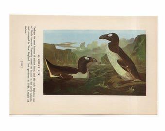 1950 AUK PRINT - EXTINCT animal -  the great auk - original vintage bird print - with razor billed auk on reverse side