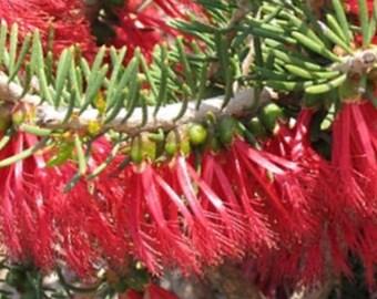 Calothamnus quadrifidus aka One sided Bottlebrush ... 25 seeds