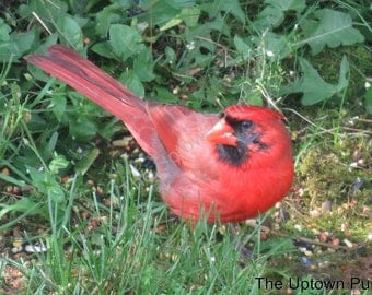 Cardinal in the Grass Photo Print
