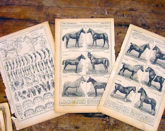 1921 3 French Prints illustration Horse breeds race anatomy vintage yellowed aged discolored equestrian