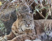 Closeup Of Bobcat Photograph from the Living Desert Palm Desert California Mother's Day Gift