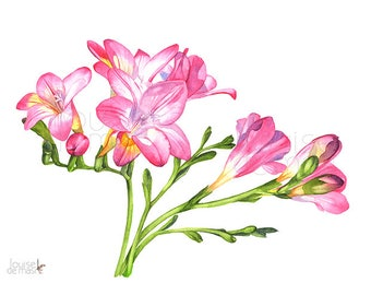 Freesias print of watercolour painting, F22917, 5 by 7 size, Freesias watercolour painting print, Freesia watercolor painting print, Flowers