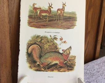 Antelope and Grey Fox Audubon Book Page Picture, 1965 Vintage Art Print Page, Fall, Hunter's Cabin or Man Cave Decor