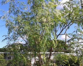 21 Dwarf Moringa Oleifera Tree seeds organic non GMO